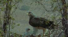 Black-Chested Buzzard Eagle Lands At Nest With Fluffy Chick Waiting