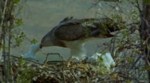 Black-Chested Buzzard Eagle Feeding Chick In Nest