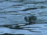Little Blue Penguin Swimming Amongst Kelp Beds