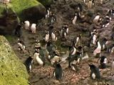 Erect Crested Penguins Nesting