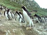 Erect Crested Penguin Calls, Others Behind