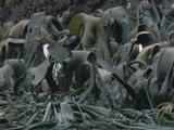 Three Erect Crested Penguins Hop Thru Kelp Beds Into Water
