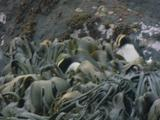 Mws Erect Crested Penguins Wade Thru Kelp Beds Into Sea