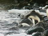 Adelie Penguin Enters Water Amongst Rocks And Ice
