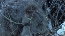 Japanese Macaque Young With Mother In Snowy Bare Branches