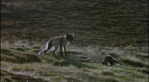 Arctic Fox Mother With Cubs, Summer Coat Markings