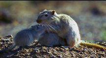 Mother Gerbil And Two Infants On Stony Ground, Infants Moving And Foraging; Adult Long Whiskers  Backlit