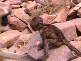 Hanuman Langur Youngster Amongst Large Rocks, Adult Appears