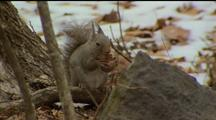 Squirrel Holding Nut In Paws Amongst Snowy Leaf Litter