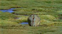 Viscacha Grazing On Short Turf Beside Water