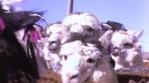 Herd Of Alpacas, (A Type Of Llama Valued For Wool)