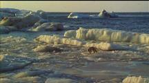 Arctic Fox Walking About On Ice Floe, In Sunset Light