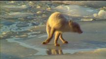 Arctic Fox Walking Over Ice