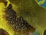 Spines Of  Sea Urchin Seen Between Fronds Of Kelp