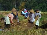 Balinese Rice Paddy Workers Threshing And Picking