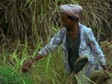 Mws Balinese Woman Picking Rice In Rice Paddy Field