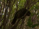 Kakapo, Climbing In Tree, Largest And Heaviest Flightless Parrot