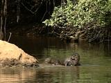 Giant Otter, Group On River Bank  Lounging In Shallows