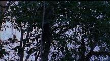 Crested Black Macaque Climbs Far Up Vine