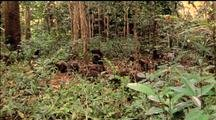 Moor Macaque Troop Foraging On Forest Floor