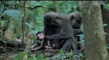 Moor Macaque Grooms Infant Intently