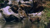 Rhesus Macaques Play In River Pond, Jump Off Rocks And Paddle