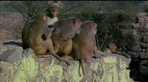 Four Rhesus Macaques Grooming Eachother On Rocky Outcrop