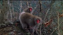 Two Japanese Snow Monkeys On The Lookout, Move Off Quickly