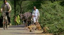 Rhesus Macaques On Road With Cyclists & Man Walking A Cow