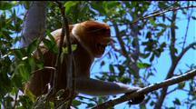 Mws Proboscis Monkey On Branch Calls Out