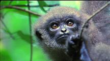 Silvery Javan Gibbon Looks Around