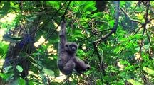Silvery Javan Gibbon Dangling From Vine, Swings To Next Branch