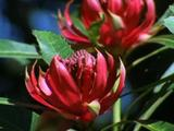 Red Waratah Flowers Not Fully Open In Lush Bush
