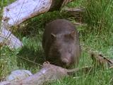 Common Wombat Wanders Across Grass And Branches