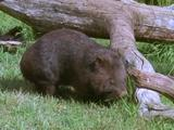 Common Wombat Grazing