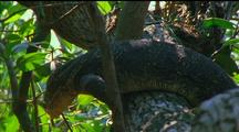 Water Monitor Climbing Up Tree, Almost Falls Off, Twists Body Round Trunk To Get Back Up