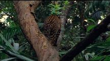 Javan Leopard Falls Out Of Tree