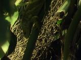 Fijian Green Iguana Slides Head First Down Thick Green Plant Stem