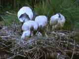 Sacred Ibis Family In Nest