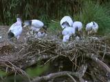 Sacred Ibis Group At Nest Feeding Chicks