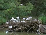 Large Group Of Sacred Ibis All Over Bracken Nest