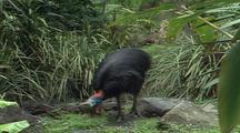 Cassowary Walks Thru Flax To Grass