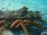 Crayfish Or Red Rock Lobster Walking On Sea Floor