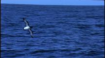 Chatham Island Mollymawk In Flight Low Over Sea