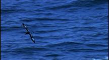 Chatham Island Mollymawk (Diomedea Cauta Eremita) In Flight