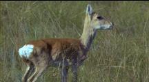 Mongolian Gazelle Looks A Bit Lost, Wandering