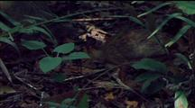 Lesser Mouse Deer Picks Way Thru Undergrowth