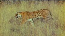 Tiger Walks Thru Long Grass