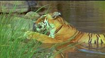 Tiger Reclines In Water, Licks Foreleg, Panting Slightly