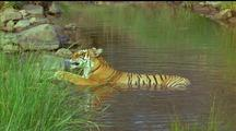 Tiger Lying In Water, Sunbathing And Cooling Off